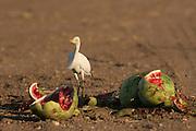 Cattle Egret (Bubulcus ibis) Israel Spring June 2007
