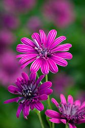 Osteospermum 3D Double Purple - African daisy