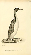 Patagonian Penguin from the 1825 volume (Aves) of 'General Zoology or Systematic Natural History' by British naturalist George Shaw (1751-1813). Shaw wrote the text (in English and Latin). He was a medical doctor, a Fellow of the Royal Society, co-founder of the Linnean Society and a zoologist at the British Museum. Engraved by Mrs. Griffith