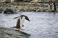 A Gentoo penguin with an egg stuck to its belly at Mikkelsen Harbour, Antarctica