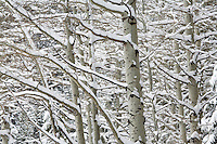 Snow covered aspens.