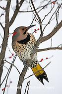 01193-014.16 Northern Flicker (Colaptes auratus) male in Common Winterberry (Ilex verticillata) Marion Co. IL