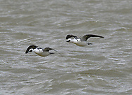 Smew Mergus albellus - Adult winter male. L 38-44cm. Elegant little diving duck. Male is stunning and unmistakable. Female might be confused with grebe in winter plumage. Sexes are dissimilar. Adult male looks pure white at a distance but close view reveals black patch through eye and black lines on breast and back. In eclipse (not seen here) resembles adult female but retains more extensive white on wing. Adult female, Juvenile and 1st winter birds (so-called 'Redhead' Smews) have orange-red cap and nape, white on cheek and throat, and grey-brown body. Voice Silent. Status Occasional and unpredictable winter visitor. Turns up on flooded gravel pits, reservoirs and lakes.
