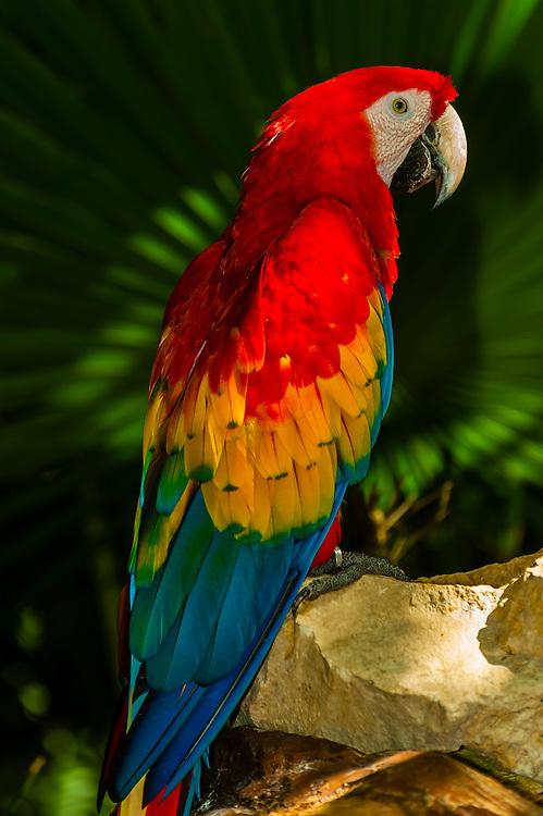 Scarlet macaw, Xcaret Park (Eco-archaeological Theme park), Riviera Maya, Quintana Roo, Mexico\