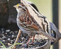 White-throated Sparrow (Zonotrichia albicollis). Image taken with a Nikon D850 camera and  500 mm f/4 VR lens.