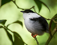 White-bearded Manakin (Manacus manacus). Asa Wright Nature Centre, Trinidad, Image taken with a Nikon D3s camera and 70-300 mm VR lens.