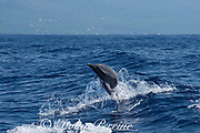 """pantropical spotted dolphin, Stenella attenuata, jumping and spinning in a boat wake, flings off a """"hula skirt"""" sheet of water, South Kona, Hawaii ( the Big Island ), USA ( Central Pacific Ocean )"""