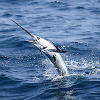 White Marlin jumping towards the boat, offshore Lobito, Angola. The picture clearly shows the bait (ballyhoo) in the mouth of the fish. This marlin also caries two Remora on his body!