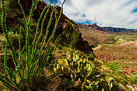 Prickly Pear Cactus and Ocotillo, Rio Grande River in background, which is the border of the USA and Mexico. Mexico is on the left), Big Bend Ranch State Park, Texas USA.