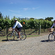 Cyclist amongst the vines at Triangle Red WInery during a tour with  On Yer Bike Winery Tours, a unique, one-day, cycling experience giving visitors the opportunity to enjoy tasting some of Hawkes Bay's finest foods and wines, while at the same time, taking in the superb scenery of the Ngatarawa Triangle, .cycle past vineyards, olive groves, orchards, horse studs, and farmland - all on flat terrain with wonderful vistas. Hawkes, Bay, New Zealand,, 4th January 2011. Photo Tim Clayton