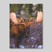 Alaska. Kenai Peninsula. Bull Moose. (Alces alces) in winter snow browsing on willow shoots.