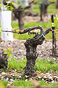 merlot guyot trained vines old vine chateau la garde pessac leognan graves bordeaux france