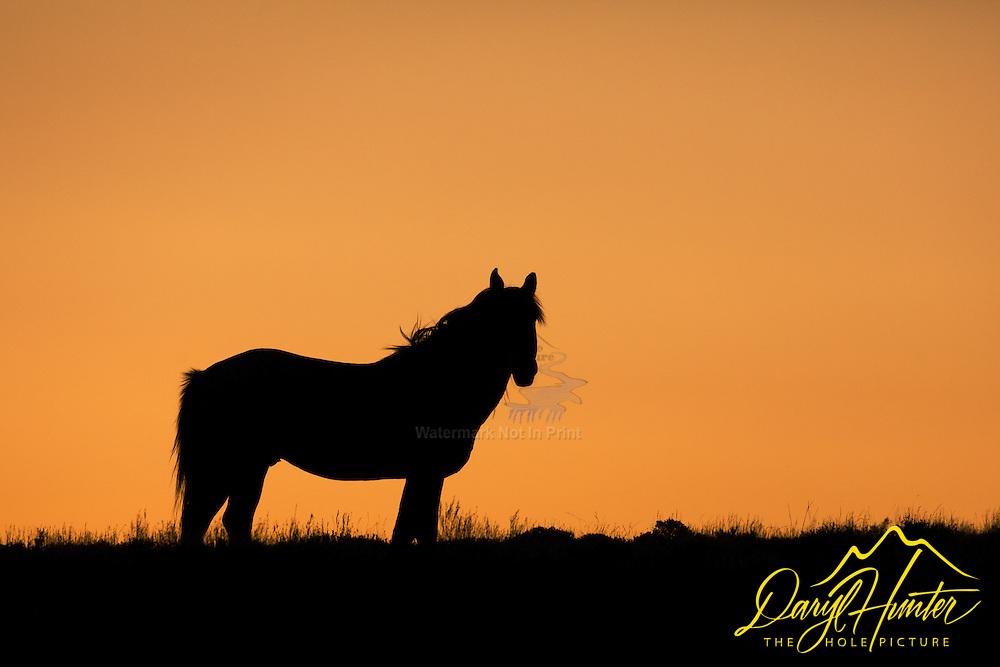 Wyoming Mustang Stallion Sunset Silhouette.