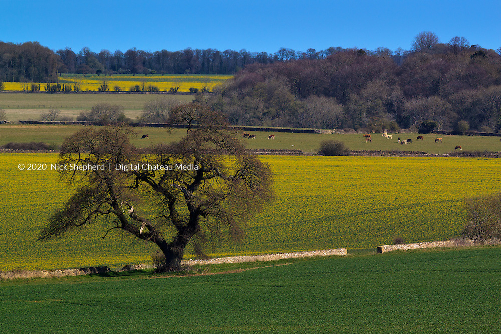 Springtime scene showing cows and rapefields on a sunny day in the Cotswolds.