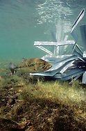 A male largemouth bass guards the eggs in a nest built adjacent to a Fishiding structure.  Fishiding artificial fish habitat create protection for spawning bass. ENGBRETSON UNDERWATER PHOTO