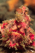 Freckled Frogfish waits in ambush looking like a part of the reef-closeup.(Antennarius coccineus).Lembeh Straits,Indonesia