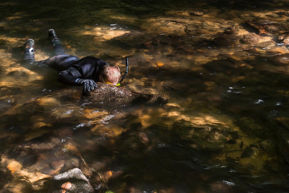 Researcher Stephen Spear looking for Eastern Hellbender (Cryptobranchus alleganiensis <br /> Cooper's Creek,  Chattahoochee National Forest<br /> Georgia<br /> USA