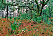 The South Caroline low country landscape is typified by oaks and palmettos.