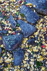 Fallen autumn aspen leaves and rocks along Elk Creek near Ash Mountain, Vermejo Park Ranch, New Mexico, USA.