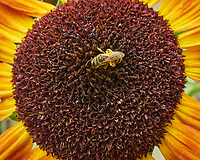 Honey bee working a Sunflower. Image taken with a Leica SL2s camera and Loawa 24 mm f/14 macro lens.