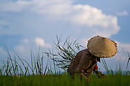 A vietnamese woman with her conical hat is harvesting rice on a sunny day, near Hoi An, Vietnam, Asia