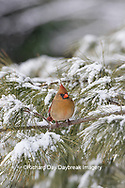 01530-22919 Northern Cardinal (Cardinalis cardinalis) female in pine tree in winter snow Marion Co. IL