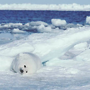 Harp Seal, (Pagophilus groenlandicus) White coat pup resting on ice pack near open lead of ocean. Spring. Nova Scotia. Canada.