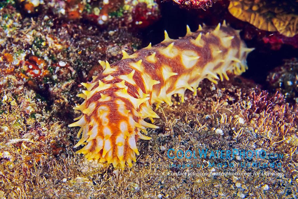 Tiger tail sea cucumber, light-spotted sea cucumber, or sand sifting sea cucumber, Holothuria hilla, Kona Coast, Big Island, Hawaii, Pacific Ocean