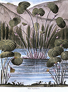 Papyrus reed (Cyperus papyrus):  Stem of the reed used to make a form of paper.  Also used to produce fibre for sails, mats, cloth, etc, and roots used as fuel. Pith used as food.Aquatint 1823
