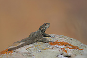 Laudakia stellio, Rock Agama basking in the sun on a rock, Israel
