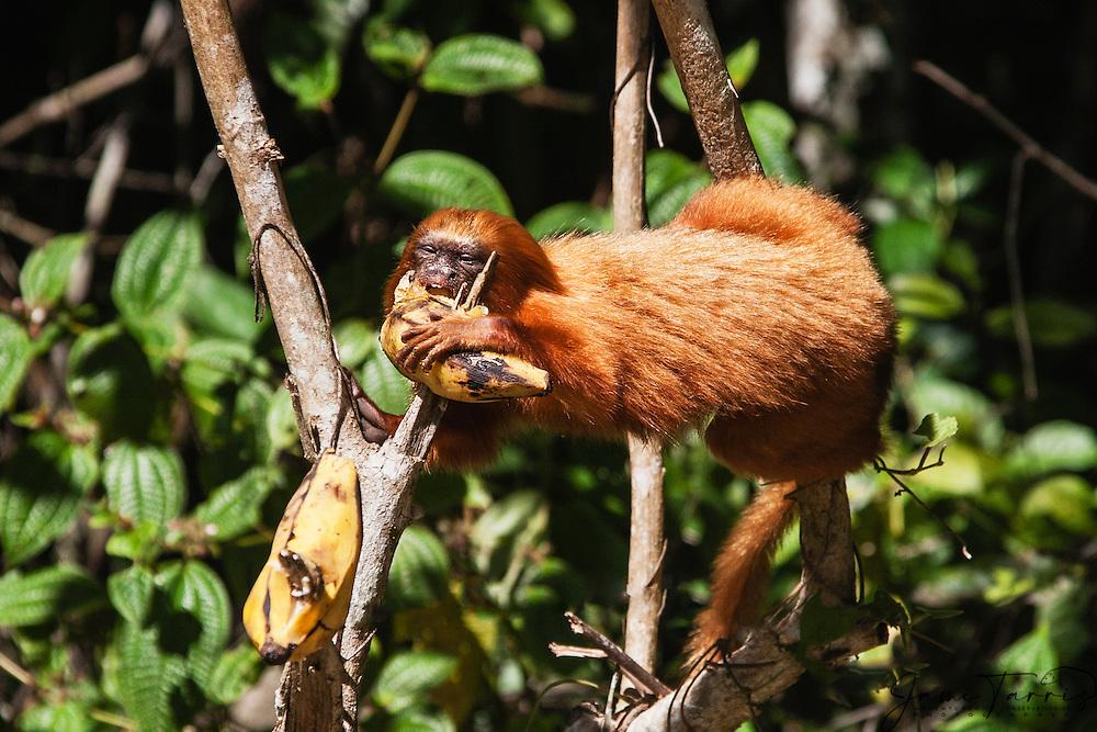 Portrait of an endangered golden lion tamarin (Leontopithecus rosalia) eating a banana, Brasil, South America