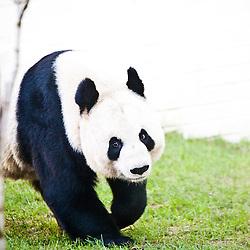 Tian Tian photo-call 5/1/2012