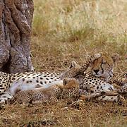 Cheetah, (Acinonyx jubatus) Cubs playing with mother while resting Masai Mara Game Reserve. Kenya. Africa.