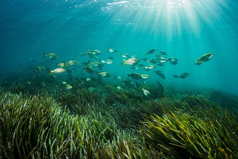 A school of cow breams (Sarpa salpa) feeding among seagrass (Posidonia oceanica) in the Mediteranean Sea in Spain.