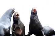 "California sea lions ""barking"" in Fanny Bay on Vancouver Island, B.C."