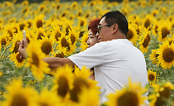 SHENYANG, Sept. 12, 2016 (Xinhua) -- Tourists take selfie amid sunflowers at a park in Heping District in Shenyang, capital of northeast China's Liaoning Province, Sept. 12, 2016. (Xinhua/Ding Hongfa) (yxb) (Credit Image: © Ding Hongfa/Xinhua via ZUMA Wire)