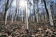Nederland, Doetinchem, 22-3-2019Jonge aanplant in een bos. De jonge boompjes worden beschermd door plastic kokers.Foto: Flip Franssen