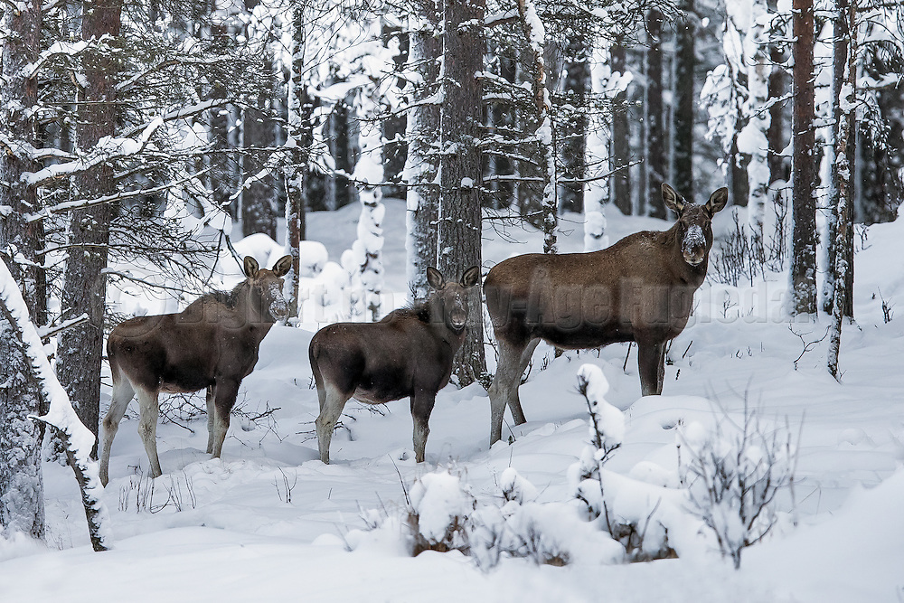 Moose with child | Elgku med barn