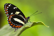 Athis longwing (Heliconius athis)<br /> Mindo<br /> Cloud Forest<br /> West slope of Andes<br /> ECUADOR.  South America<br /> HABITAT & RANGE: