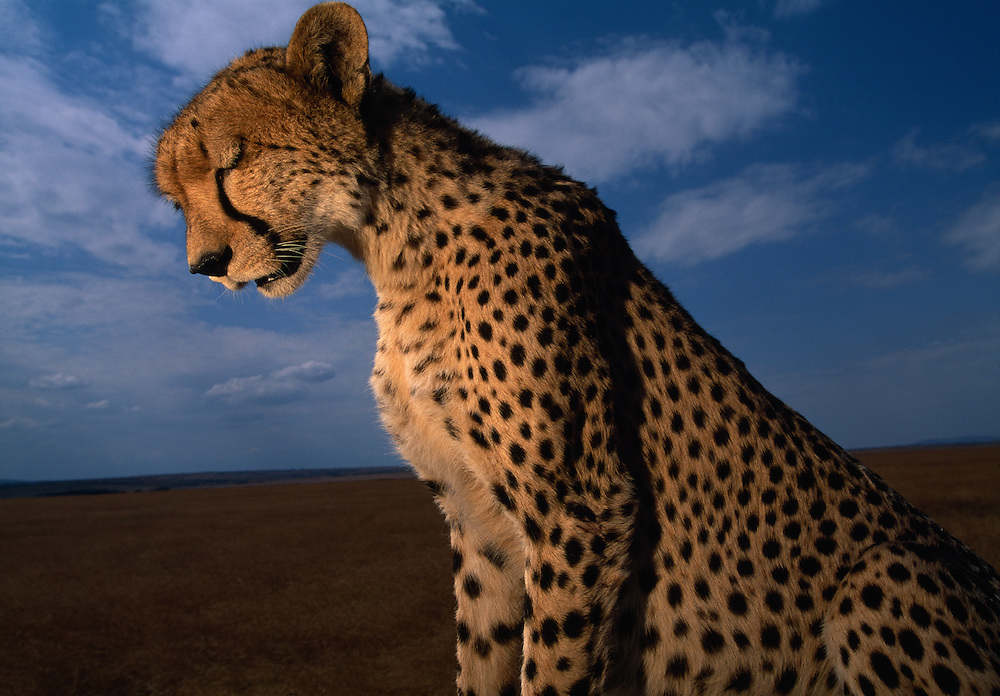 Africa, Kenya, Masai Mara Game Reserve, Flash image of Adult Female Cheetah (Acinonyx jubatas) resting above savanna