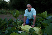 Ian Neale, 67, retired,  seen here with his marrow, takes his hobby extremely seriously; He works up 80 hours a week on his land and spends a  £1000 a year on fertilisers. He once held a world record for a swede weighing in at 81.5lb but lost it eight hours later to someone in Alaska. Giant vegetable growing is not a hobby for the faint hearted. The growers have to tend to the vegetables almost every day (including Christmas) tending, nurturing, growing and spending thousands on fertilisers, electricity and green houses. The reward is to be crowned world record holder of largest, longest or heaviest in class, cabbages weighing in at 100lb, carrots stretching 19 ft and pumpkins tipping the scales at 800lb. It's a competitive business though and global; some times the record may stand for only hours before a fellow competitor, as in Ian's case, knocks a grower off the coveted spot.