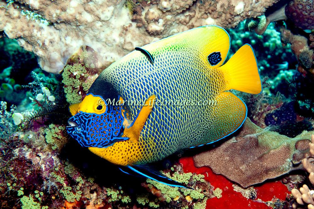 Yellow-mask Angelfish inhabit reefs. Picture taken Lembeh Straits, Sulawesi, Indonesia.