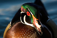 Wood duck closeup portrait
