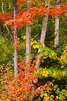 #10 Autumn foliage and birch trunks near Jay, Vermont
