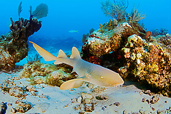 nurse shark, Ginglymostoma cirratum, off Key Largo, Florida Keys National Marine Sanctuary, Atlantic Ocean