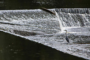 A heron fishing in Forge weir on the river Lune, Halton, Lancashire.