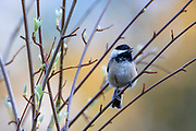 A black-capped chickadee (Poecile atricapillus) sings from its perch on a shrub in Snohomish County, Washington.