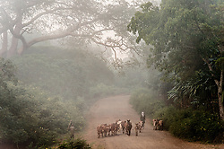 """The village Choche, in Jimma, (once the capital of the region known as Kaffa)  is beleived to be the original birthplace of coffee. Legend says that  a goat herder named Khalad noticed his goats """"dancing"""" after eating the red cherries and he took the cherries to a local monastery. The monks proclaimed it must be the work of the devil and threw the beans into a fire but soon became excited by the lovely aroma the roasting beans gave off. They then decided it might be nice to try consuming the beans and this is how coffee began.  Ethiopia boasts the most ancient and compelling traditions for coffee consumption that the world has ever seen. Coffee permeates the cultural fabric of Ethiopian life and it unites the country. It binds the many different ethnic groups together, Christian or Muslim, rich or poor. An elaborate extension to Ethiopia's warm sense of hospitality, the coffee ceremony is a daily social ritual to honour the importance of the bean, and strengthen human bonds."""