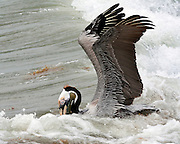 This Brown Pelican extends its wings to balance and ride the waves as it feeds. Schools of fish lie close to the surface near Mustang Island, so the pelican can dip its bill under water and easily catch a pouch full. Pelicans have been listed as endangered since 1970. Eastern Brown Pelican (Pelecanus occidentalis)