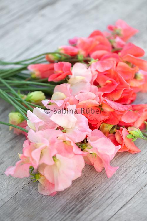 Lathyrus odoratus 'Bobby's Girl' and 'Maloy' - sweet pea'